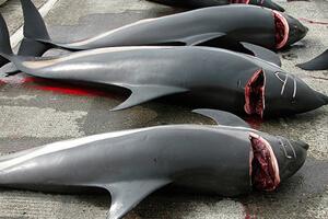 dauphins-massacre-1