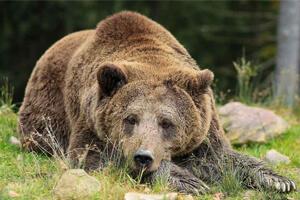 effarouchement-ours