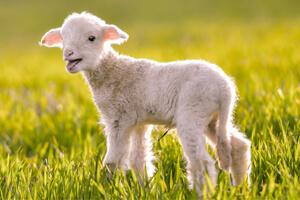 agneaux-roquefort